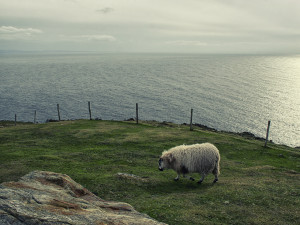 Sheep of Ireland #01