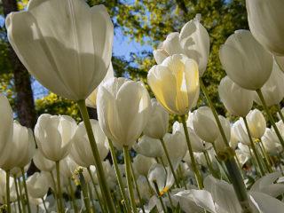 Messer Tulipano #04