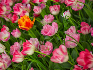 Messer Tulipano #05